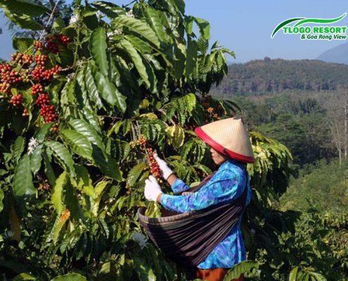 tlogo-resort-tuntang-hasil-perkebunan-kopi-coffee
