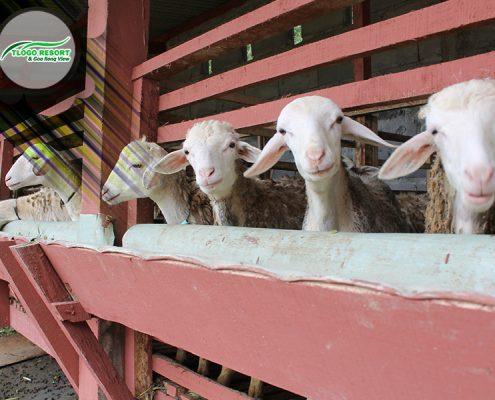 wisata-agro-tlogo-resort-web-support-develop-by-duaide-peternakan-domba-kambing