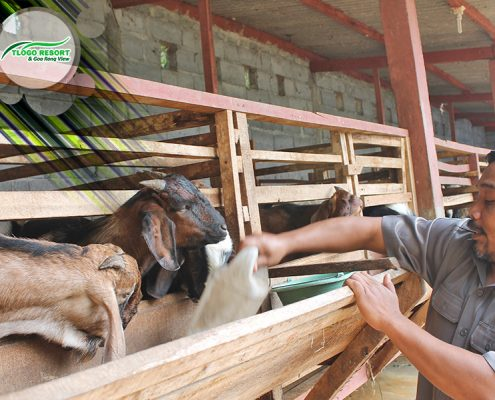 wisata-agro-tlogo-resort-web-support-develop-by-duaide-peternakan-kambing