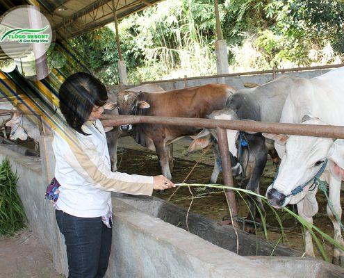 wisata-agro-tlogo-resort-web-support-develop-by-duaide-peternakan-sapi-dan-pengunjung